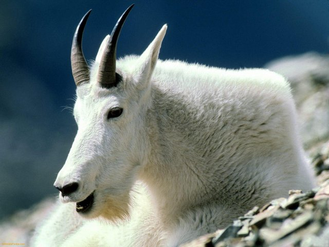 Photo of Появился новый житель зоопарка Появился новый житель зоопарка Появился новый житель зоопарка Mountain Goat Montana 1