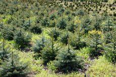новогодние елки, живые елки, новогодние праздники, новости, Сокольники, Битцевский лес, раздельный сбор мусора, год экологии