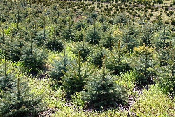 Photo of Живые елки после праздников можно сдать на переработку живые елки Живые елки после праздников можно сдать на переработку