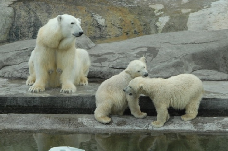 Photo of День белого медведя  День белого медведя 01 4