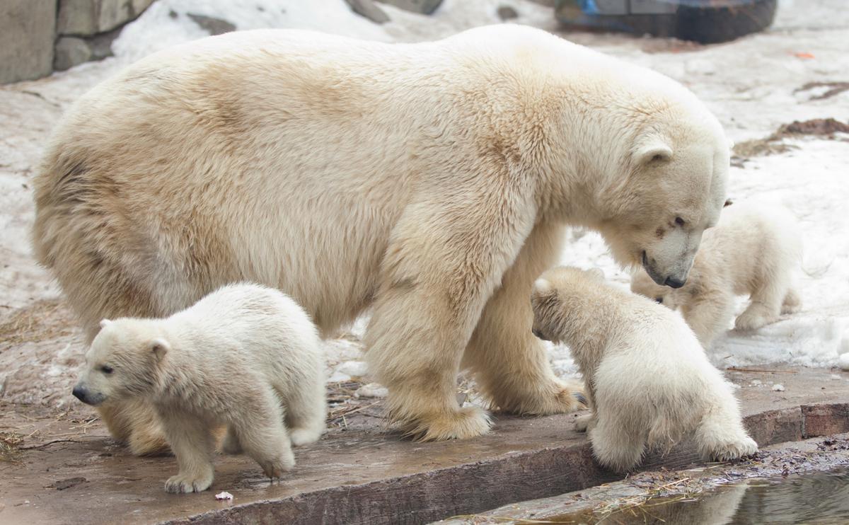 День белого медведя 04 4