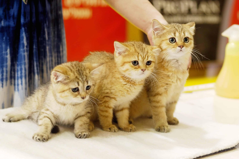 Photo of Выставка-продажа котят «Кошарики Шоу» Кошарики Шоу Выставка-продажа котят «Кошарики Шоу» 1 3