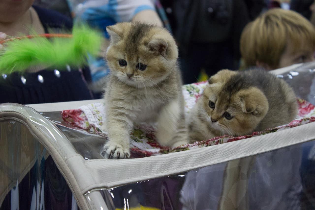 Кошарики Шоу Выставка-продажа котят «Кошарики Шоу» 2 3