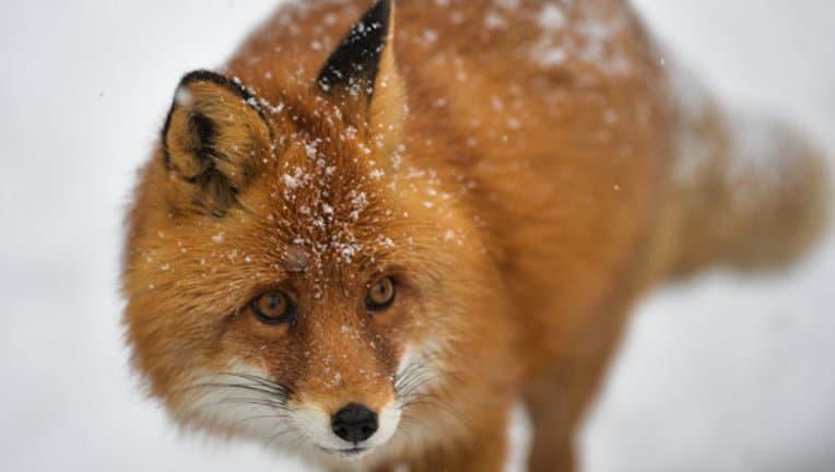 Московские экологи рекомендуют не кормить лис Московские экологи рекомендуют не кормить лис 3 9
