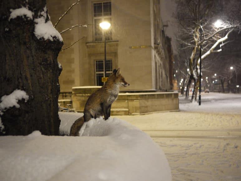 Московские экологи рекомендуют не кормить лис Московские экологи рекомендуют не кормить лис 6 1