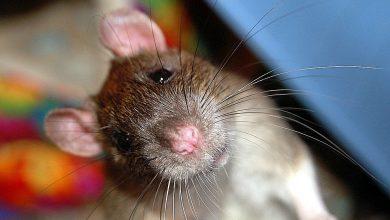 Photo of Всемирный день крысы Всемирный день крысы Всемирный день крысы 1 1 390x220